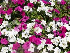 Flowers Kuvituskuvat