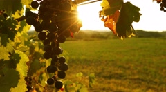 Backlit black grape bunch at sunset Stock Footage