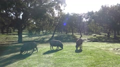 4K Black Iberian Pigs To Pass Through The Oak Trees in the Dehesa Spain-Dan Stock Footage