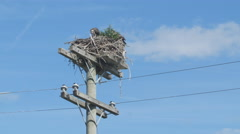 Juvenile peregrine falcons in nest near Kirkfield, Ontario, Canada. Stock Footage