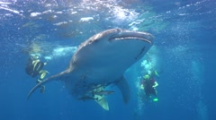 Whale shark and bubbles Stock Footage