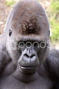 Gorilla (Männchen) Stock Photos