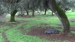 4K Black Iberian Pig is sick Through The Oak Trees in the Dehesa of Spain-Dan Stock Footage