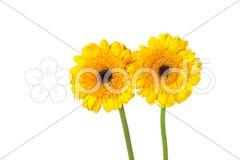 Yellow gerber Stock Photos