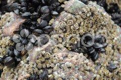Closeup of many shells living on a rock Stock Photos