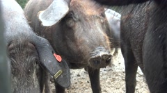 4K Spanish Hogs Eating Acorn a raining day of winter in the field.-Dan Stock Footage