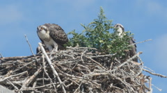 Closeup of juvenile peregrine falcons eating in their nest. Stock Footage