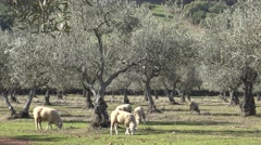 4K Sheeps in the pastures with olive trees of Extremadura, Spain-Dan Stock Footage