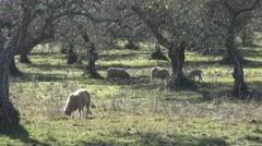 4K Spanish Lamb Eating grass a good day of winter with Sun's Rays in field.-Dan Stock Footage