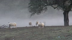 4K Sheeps in Dehesa with the fog to pass through the oak trees of Spain-Dan Stock Footage