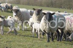 Flock Stock Photos