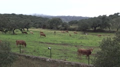 4K cows in the pastures in the Dehesa of Extremadura, Spain.-Dan Stock Footage