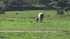 4K Spanish Calf Mother Cow walking in a good day of winter in the field-Dan Stock Footage