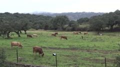 4K Spanish Bull Eating grass a raining day of winter in the field.-Dan Stock Footage