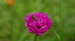 Honeybee on portulaca flower Stock Footage