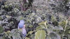 Peasant picks ripe coffee beans Stock Footage