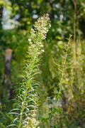 Erigeron Canadensis Plant Stock Photos