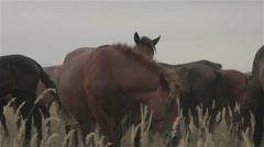 A group of wild horses graze in a field Stock Footage