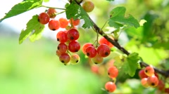 Ripe red currant berries in garden Stock Footage