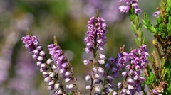 Close up of common heather (Calluna vulgaris) flowering in heathland in summer Stock Footage