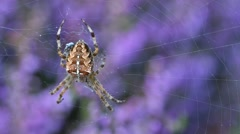 Garden spider in web made in blooming heather in heathland. Rack focus Stock Footage