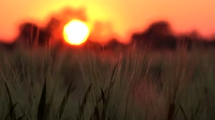 4K Timelapse Wheat Field in Dramatic Sunset, Cereals Crop View, Nature Landscape Stock Footage