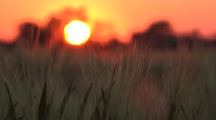 4K Wheat Field in Dramatic Sunset, Agriculture Cereals Crop, Nature Landscapes Stock Footage