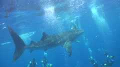 Whale shark and divers Stock Footage