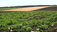 4K Sunflowers in Agriculture Field, Unripe Vegetables Crop, Cultivated Land View Stock Footage