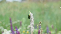 Shiny emerald green flower chafer beetle on beautiful plantain flower in a Stock Footage