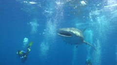 Close shot of whale shark Stock Footage