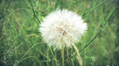 Fluffy dandelion on background of green grass Stock Footage