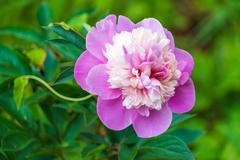 Common peony (Paeonia officinalis) pink flower in garden Stock Photos