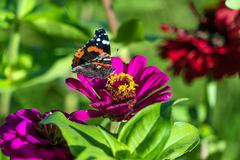 Red Admiral (Vanessa atalanta) butterfly on Zinnia elegans flowers Stock Photos