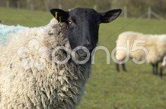 Ewe Stock Photos