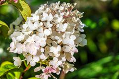 Smooth Hydrangea arborescens white flowers at summer garden Stock Photos