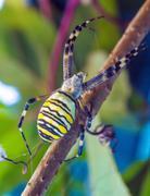 The yellow striped venomous wasp spider (Argiope bruennichi) Stock Photos
