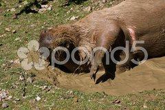 Wasserschwein im Schlammbad Stock Photos