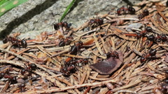 Close up of red wood ants (formica rufa) Stock Footage