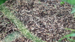 Anthill of red ants (formica rufa) Stock Footage