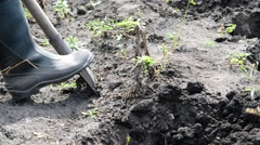 Man digs up potatoes out of the ground with a shovel Stock Footage