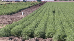 Farms and crops growing in the Holland Marsh Canada Stock Footage