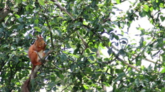 Red squirell (Sciurus vulgaris) on the tree Stock Footage