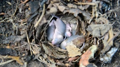 Newborn little mice in nest of the field Stock Footage