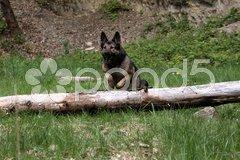 Deutscher Schäferhund Stock Photos