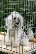 Weißer Pudel in einer Gitterbox Stock Photos