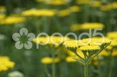 Achillea Stock Photos
