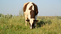 Cow eating grass on glade Stock Footage