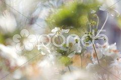 Anemones flower Stock Photos
