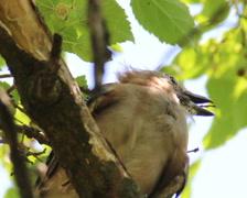 Young Eurasian jay (Garrulus glandarius) Stock Footage